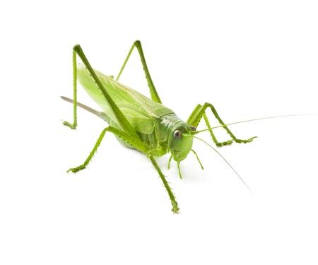 Locust isolated on white background Standard-Bild