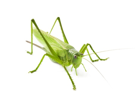 Locust isolated on white background Stock Photo