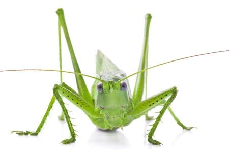 Locust geïsoleerd op een witte achtergrond