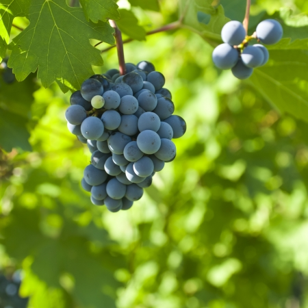 fruitful: Several bunches of ripe grapes on the vine  selective focus  Stock Photo