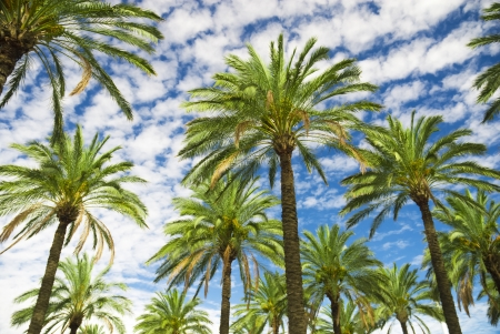 palm oil plantation: Blue sky palm trees in tropical summer Stock Photo