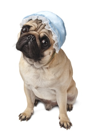 Close-up of Pug in blue cap photo