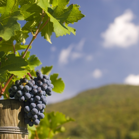 Several bunches of ripe grapes on the vine  selective focus  Stock Photo