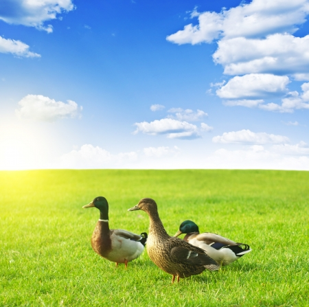 ducks on a green meadow under a cloudy sky Stock Photo