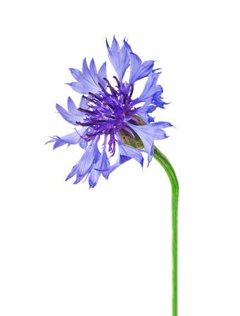 bachelor s button: Cornflower Isolated on White