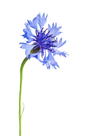 Blue and Cyan Colored Cornflower Isolated on White photo