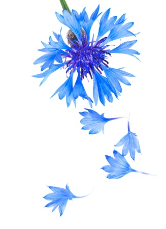 bachelor s button: Blue and Cyan Colored Cornflower Isolated on White