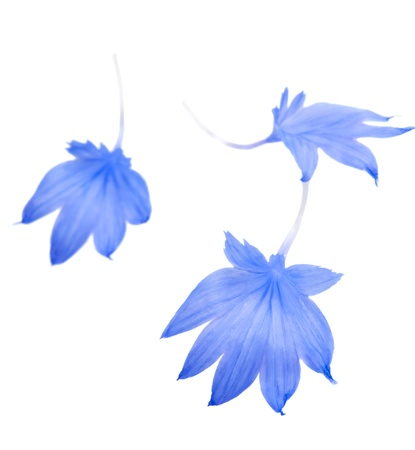 cornflower petals on a white background photo