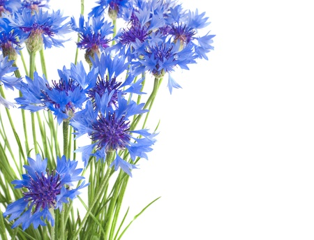 cornflowers isolated photo