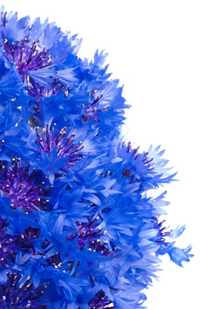 cornflower isolated on a white Stock Photo - 17138214