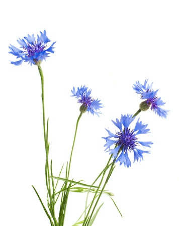 Beautiful blue cornflower isolated on white background Stock Photo - 17138110
