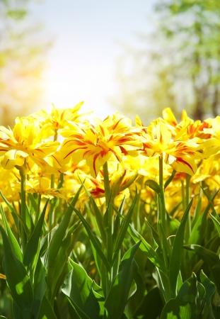 Spring achtergrond met mooie gele tulpen in soft focus Stockfoto