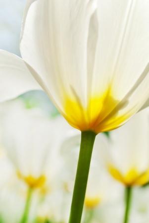 close-up Tulips, blurred and sharp photo