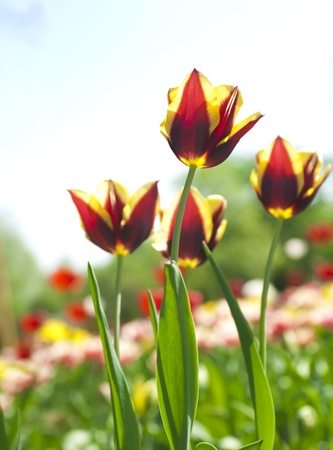 Spring background with beautiful  tulips photo