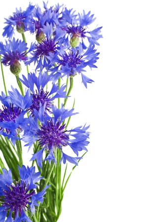 Beautiful blue cornflower isolated on white background Stock Photo - 17927990