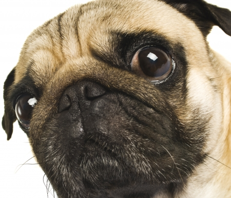 close up eyes: Close-up of Pug