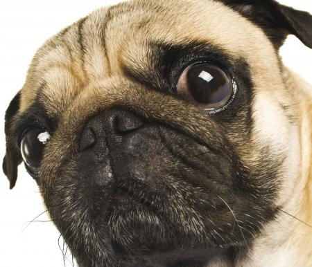 tete chien: Gros plan sur Pug Banque d'images