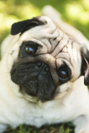 Close-up of Pug on the green grass in the garden  Soft focus  photo