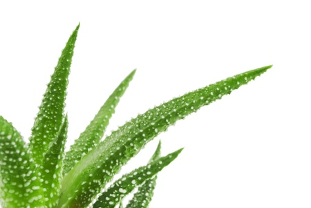 Green leaves of aloe plant close up Foto de archivo