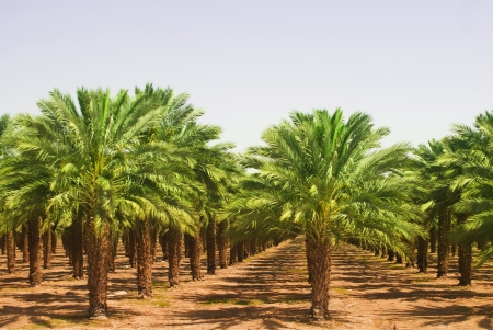 palmeras: Vistas de las plantaciones de aceite de palma Foto de archivo