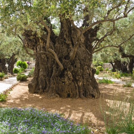 Old olive tree photo