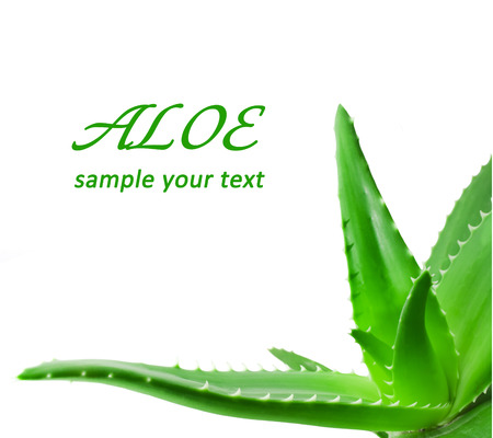 Green leaves of aloe plant close up Banco de Imagens