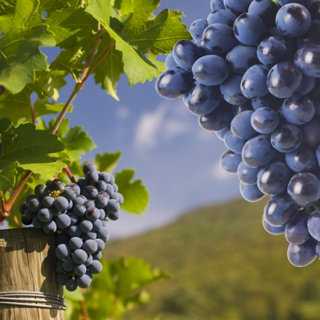wine country: Several bunches of ripe grapes on the vine  selective focus  Stock Photo