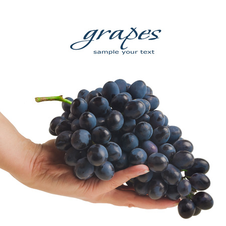 concord grape: hands holding freshly picked grapes