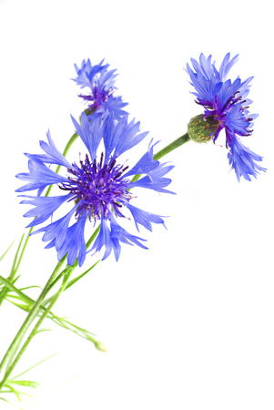 Beautiful blue cornflower isolated on white background Stock Photo - 23205921