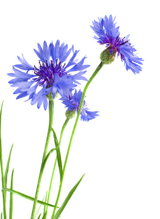 Beautiful blue cornflower isolated on white background photo