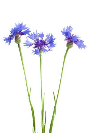 Beautiful blue cornflower isolated on white background Stock Photo - 23205923