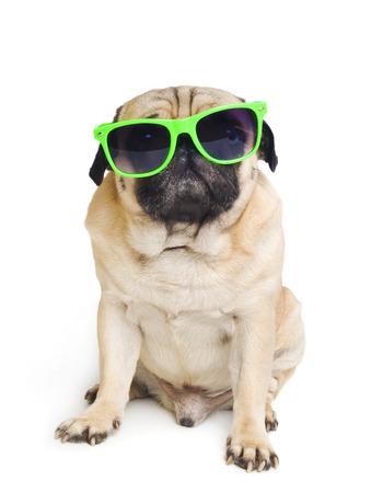 jovem: pug com óculos de sol