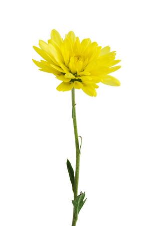 Yellow chrysanthemum Standard-Bild
