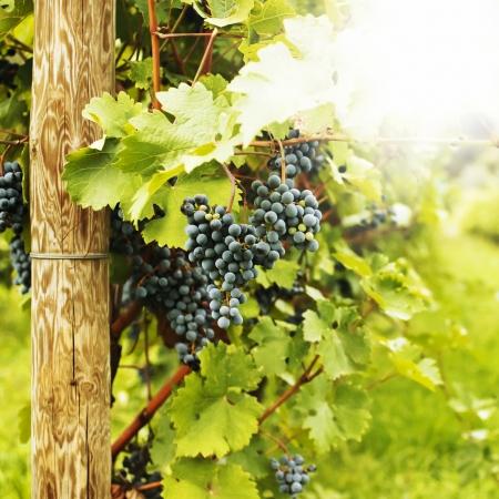 Meerdere trossen rijpe druiven aan de wijnstok selectieve aandacht
