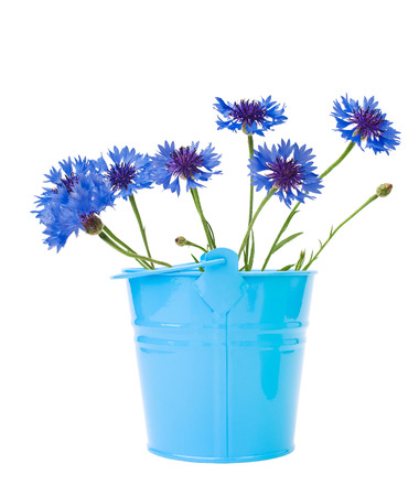 cornflowers in bright blue ornamental bucket isolated on white photo