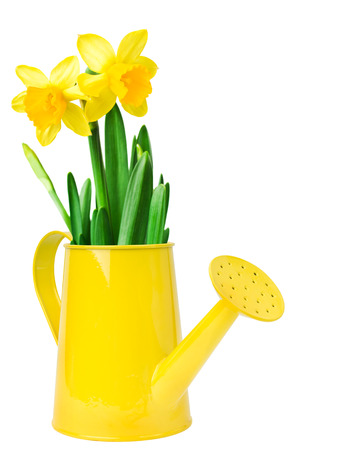 Narcissus flower arrangement in a yellow watering can, over white background  photo