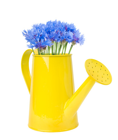 watering can cornflowers, isolated on white photo