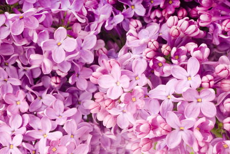branch with spring lilac flowers photo