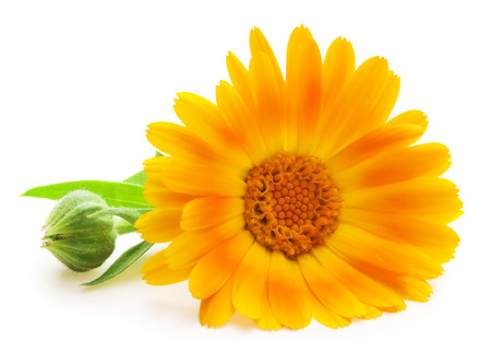 Calendula  Marigold flowers with leaves isolated on white photo