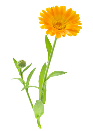 Calendula  Marigold flowers with leaves isolated on white Standard-Bild