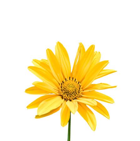 Yellow Colored Calendula Isolated on White Background photo