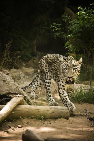 panthera pardus: African Leopard (Panthera pardus)