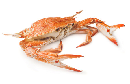 crab isolated on white background photo