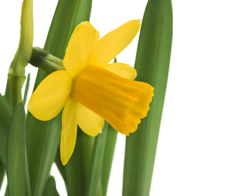 daffodils in green grass over white photo
