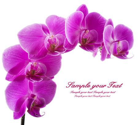 fiore isolato: Rosa striato fiori di orchidea, isolato Archivio Fotografico