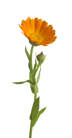 Calendula. Marigold flowers with leaves isolated on white Zdjęcie Seryjne - 42506502