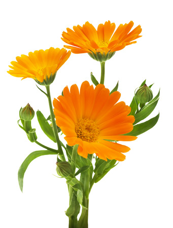 カレンデュラ。白で隔離の葉とマリーゴールドの花 写真素材