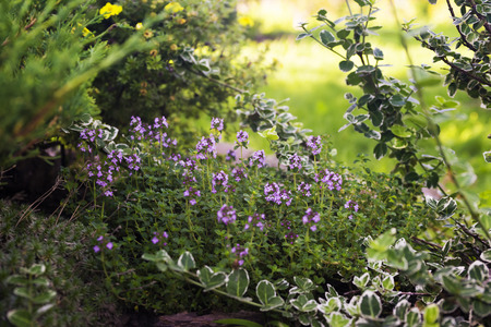 Thymus - healing herb and condiment growing in nature selective focus Stock Photo