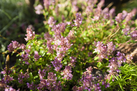condiment: Thymus - healing herb and condiment growing in nature selective focus Stock Photo