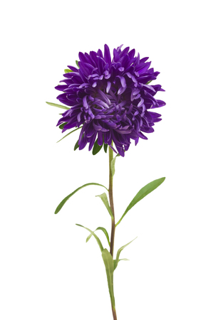 aster: aster isolated on white background